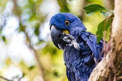 One billion dollars (Notkalvin) Tags: parrot macaw hyacinthmacaw blue bird aviary nationalaviary pittsburgh notkalvin mikekline notkalvinphotography captive caged pennsylvania eye moviereference animal