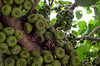 Unknown Lots (LynxDaemon) Tags: fig fruits unknown brazil brésil nature tree