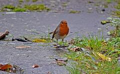 On Ground (Luzon Jim) Tags: robin ground slabs concrete outdoor avian wildlife robins month morning d5300 rspb nikon composition grass bird