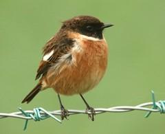 Stonechat (m) (Alan McCluskie) Tags: stonechat saxicolatorquata birds nature wildlife wiltshire canon7dmk2 sigma150600mmsp handheld