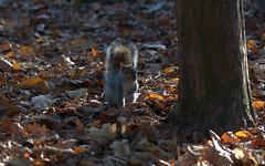Grey Squirrel - Scoiattolo grigio americano (Scirius carolinensis)_010 (by emmeci) Tags: sciriuscarolinensis monzaroyalgardens squirrel fallautumn