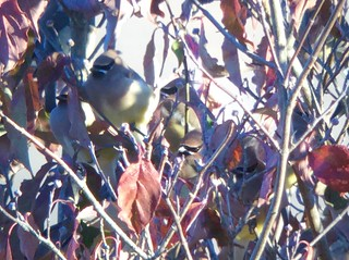 Cedar Waxwings - count the masks