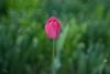 Singular Beauty (Wollensak Oscillo Raptar 1.9/3 inch) (backsidewalkaround) Tags: lenstagger flower tulip redandgreen wollensak oscilloraptar193 oldlens vintagelens adaptedlens manuallens fixedfocuslens bokeh bokehlicious