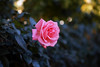2017 Autumn Rose (shinichiro*@OSAKA) Tags: 20171121sdqh1796 2017 crazyshin sigmasdquattroh sdqh sigma1835mmf18dchsm november autumn rose yokohama kanagawa 横浜イングリッシュガーデン バラ ピンク japan jp 37987635904 2081072 201801gettyuploadesp