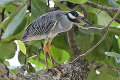 Yellow-crowned Night Heron (Ralph J Clark) Tags: yellowcrownednightheron stlucia nikon200500mmf56 caribbean