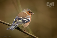 Chaffinch (Baljinder.Gill) Tags: chaffinch birds birdphotography bird birdsupclose wildlife wildlifephotography wildlifenature wildbirds wildlifeupclose wildbird animalphotography animals animalsupclose animal adeldam nikon nature naturephotography naturewildlife naturereserve smallbirds
