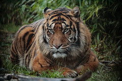 Sumatran Tiger (K.Verhulst) Tags: blijdorp diergaardeblijdorp rotterdam sumatraansetijgers sumatraansetijger sumatrantiger tigers tijgers cats cat tiger ngc npc