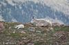 Mountain Goat and Kid (zizoufrey) Tags: 2017 co jpf mountaingoat mtevans