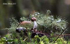 Hoy setas de color rosa / Today pink Mushrooms (Elena Bouza Pena) Tags: setas russulas