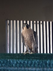 Peregrine Falcon (rasputina2) Tags: vasquezrocks peregrine falcon ambassador bird