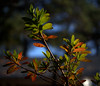 _MG_2936.CR2 (jalexartis) Tags: autumn autumncolor fall pinestraw azalea azaleas shrubbery shrub lighting camranger