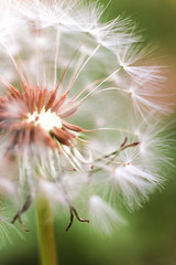 Make a wish (BriannaShea.) Tags: flower wish happy nature green white canon blow wind outside macro rebel t1i