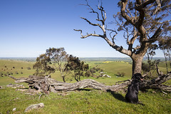 Enjoying the View (oz_lightning) Tags: australia canon6d canonef1635mmf4lis eucalyptus lowernorth myrtaceae sa tarlee dog landscape nature decay southaustralia aus
