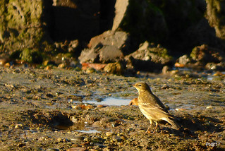 Rock pipit.  Anthus petrosus (Explored)