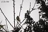 Aguantando la helada.. (Javier Arcilla) Tags: aves otoño cuatrovientos ponferrada elbierzo leon castillayleon españa pentax k70 50200mm airelibre cielo