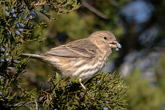 Female House Finch (Kevin James54) Tags: housefinch lakegalena nikond850 peacevalleypark tamron150600mm animals avian bird carpodacusmexicanus finch kevingianniniphotocom