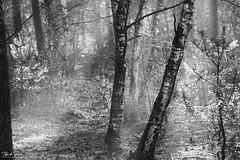 Foggy morning in the woods (Thijs de Bruin) Tags: bos bomen trees mistig foggy autumn bw blackandwhite