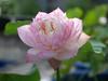 Sacred Lotus 'Fen Ling Long 13' Wahgarden Thailand 005 (Klong15 Waterlily) Tags: lotus thailandlotus flower lotusflower pond pondplant landscape nelumbonucifera