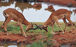 Impala Rams Fighting - 6744b+