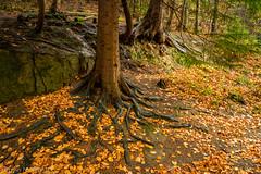 Roots (1 of 1) (rideoncu) Tags: nantmill plaspower