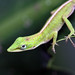 Green Chameleon (Florida)