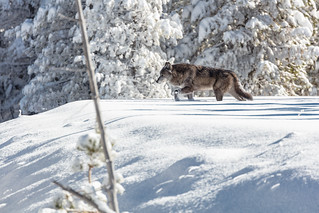 Wolf moving through fresh snow