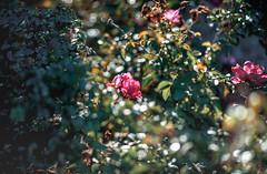 ILCE-7M2-05436-20171214-1103-Pano // Minolta MC Tele Rokkor-X PF 100mm 1:2.5 (Otattemita) Tags: 100mmf25 florafauna minolta minoltamcmcxtelerokkorxpf100mmf25 rokkor rokkorx rokkorxpf fauna flora flower nature plant wildlife minoltamcmcxtelerokkorxpf100mm125 sony sonyilce7m2 ilce7m2 100mm cnaturalbnatural ota