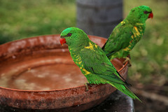 Scaly breasted Lorikeet (crafty1tutu (Ann)) Tags: animal bird scalybreastedlorikeet small native parrot parakeet free crafty1tutu canon5dmkiii canon24105lserieslens anncameron naturethroughthelens