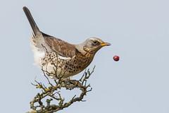 Fieldfare & The last Berry Nov 2017 Part Three (jgsnow) Tags: bird thrush fieldfare berry