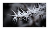 Frostnadeln am Ahorn (mmsig) Tags: 2017 frost cold white snow crystals tree winter garden macro closeup lowersaxony brunswick maple spell niedersachsen braunschweig januar january