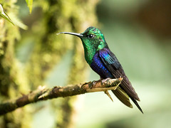 IMG_6004  Green-crowned Woodnymph_hummingbird (ashahmtl) Tags: greencrownedwoodnymph bird hummingbird thaluraniafannyi sachatamialodge pichinchaprovince ecuador