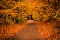 Leafy Lane.2 (Jez22) Tags: leafy lane kent england rural road golden autumn fall autumnal color colours copyright jeremysage colour nature season orange yellow leaves beautiful outdoors background beauty outside colorful brown tree nobody foliage weather