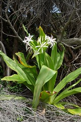 LHID 203 (newnumenor) Tags: australia lordhoweisland nsw flowers