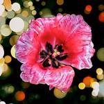 Stratford Ontario Canada ~ Tulip Burst with Bokehs thumbnail