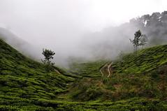 India - Kerala - Munnar - Tea Plantagen - 204 (asienman) Tags: india kerala munnar teaplantagen asienmanphotography