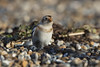 Stepping out in style (Chris Bainbridge1) Tags: plectrophenaxnivalis male snow bunting northnorfolkcoast shingle stepping out