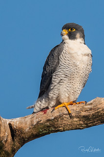 Peregrine Falcons of Alpine | 2107 - 25