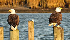 Bald Eagles (baypeep) Tags: eagle