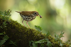 Wood Thrush (Hylocichla mustelina) with beetle (Chris Jimenez Nature Photo) Tags: vegetation birding woodthrush migratory tropics leastconcern sideview hunting centralamerica foraging wildlife trushes backlight hylocichlamustelina costarica bird beetle twoanimal chrisjimenez birds eating tropical branch