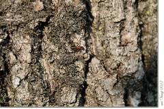 Die Ameise (Mr.Vamp) Tags: baum baumrinde natur ameise lebensraum wald mrvamp vamp tree bark nature ant habitat forest