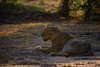 Lioness (Mike/Claire) Tags: lioness 2016 southafrica tandatula timbavati