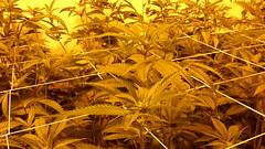 20150414_101322 (CannaPsy) Tags: hydroponics flood drain indoor medical cannabis marijuana weed horticulture high pressure sodium hps og