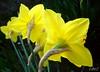 ___ alle spalle!! ___ (erman_53fotoclik) Tags: panasonik dmc fx10 erman53fotoclik macro retro petali fiori gialli narcisi flora