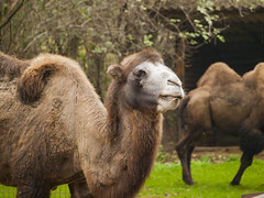 teve (Dreamaxjoe) Tags: animal zoo camel tree