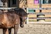 IMG_7290 (Tyler Ochs Photography) Tags: horses horse halter