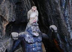 ,, Monkey See Monkey Do ,, (Jon in Thailand) Tags: primate monkey oldmonkey madmonkey oldmadmonkey themonkeytemple jungle deepjungle gorilla animalexpressions monkeyfangs monkeyshit red mrbigballs monkeyballs greatballsoffire monkeyface wildlife wildlifephotography nikon nikkor d300 175528