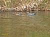 Ánade friso (Mareca strepera)  (6) (eb3alfmiguel) Tags: aves acuaticas patos anatidae ánade friso mareca strepera