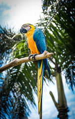 Blue-and-yellow macaw (ajanth.v) Tags: blueandyellow macaw bali indonesia bird park nikon d7100 18140mm