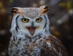 48/52 It's the little things ... (FocusPocus Photography) Tags: eule owl eagleowl uhu kanadauhu greathornedowl bubovirginianus vogel bird tier animal garudafalknerei