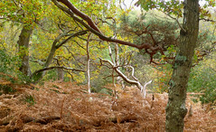 New Forest NP, Hampshire, England (east med wanderer) Tags: newforestnationalpark england uk lyndhurst nationalpark oak bracken